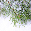 Frozen spruce branches on snow close up — Stock Photo #37963507