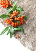 Pyracantha firethorn naranja bayas con hojas verdes, de cilicio, aislado en blanco — Foto de Stock