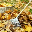 Stock Photo: Cleaning of autumn leaves on green lawn