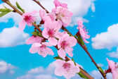 Beautiful pink peach blossom on blue sky background — Stock Photo