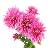 Roze herfst chrysant geïsoleerd op wit — Stockfoto