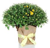 Chrysanthemum bush in pot isolated on white — Stock Photo