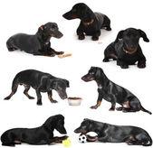 Black little dachshund dog isolated on white — Stockfoto