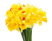 Beautiful yellow daffodils isolated on white — Stock Photo