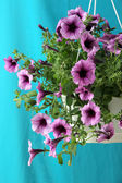 Purple petunia in flowerpot on cloth background — Stock Photo