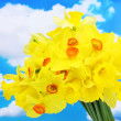 Stock Photo: Beautiful yellow daffodils on blue sky background