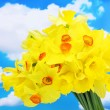 Beautiful yellow daffodils on blue sky background — Stock Photo