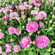 Chrysanthemum bush close up — Stock Photo #38599939