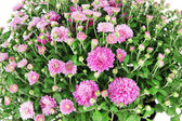 Chrysanthemum bush close up — Stock Photo
