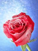 Röd ros i snö på blå bakgrund — Stockfoto