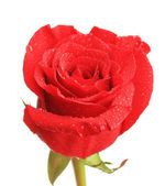 Rosa hermosa y color de la tela, aislado en blanco — Foto de Stock