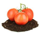 Tomatoes on ground isolated on white — Stock Photo