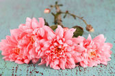 Pink chrysanthemums on blue wooden table — Stock Photo
