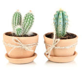 Beautiful cactuses in flowerpot, isolated on white — Stock Photo