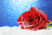 Red rose in snow on blue background — Stock Photo