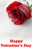 Red rose on snow background — Stock Photo