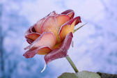 Rose covered with hoarfrost close up — Stock Photo