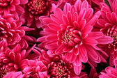 Bouquet of pink autumn chrysanthemum, close up — Stock Photo