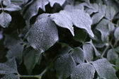 Frozen leaves close up — Stock Photo