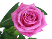 Pink rose isolated on white — Stockfoto