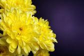 Beautiful chrysanthemum flowers on brown background — Stock Photo