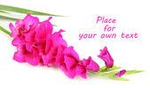 Güzel glayöl çiçek üzerinde beyaz izole — Stok fotoğraf