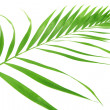 Green leaf of palm tree (Howea) isolated on white — Stock Photo