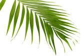 白で隔離される (汎用) のヤシの木の緑の葉 — ストック写真