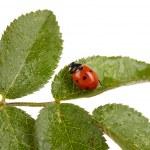 Ladybug on green leaf isolated on white — Stock Photo #41337959