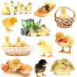 Stock Photo: Collage of cute little chickens and ducklings
