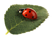 Ladybug on green leaf isolated on white — Stock Photo