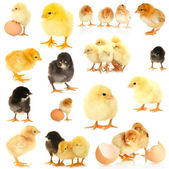Little chickens isolated on white — Stock Photo