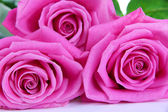 Pink roses isolated on white — Stockfoto