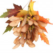 Maple seed and autumn leaves isolated on white — Stock Photo #41548123