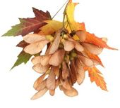 Maple seed and autumn leaves isolated on white — Stock Photo