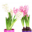 Hyacinth flowers in pots isolated on white — Stock Photo #41688169