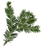 Beautiful yew twig, isolated on white — Stock Photo