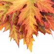 Vivid autumn maple leaves isolated on white — Stock Photo