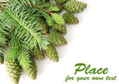 Green cones and fir tree isolated on white — Stock Photo