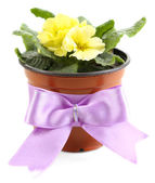Yellow primrose in  brown pot isolated on white — Stock Photo