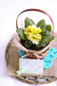 Yellow primrose in  wicker basket, on napkin, isolated on white — Stock Photo