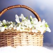 Beautiful bouquet of snowdrops in wicker basket on snow — Stock Photo