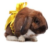 Lop-eared rabbit with yellow bow isolated on white — Stock Photo