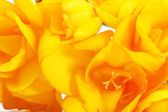 Beautiful yellow freesias close up — Stock Photo
