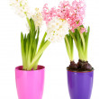 Hyacinth flowers in pots isolated on white — Stock Photo #42230417