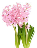 Pink hyacinth isolated on white — Stock Photo