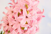 Pink hyacinth on bright background — Stock Photo