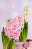 Hyacinth on bright background — Stock Photo