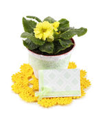 Yellow primrose in pot on color napkin isolated on white — Stock Photo