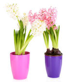 Hyacinth flowers in pots isolated on white — Stock Photo